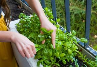 Cultura de plantas aromáticas, medicinais e condimentares – programação, organização e orientação – UFCD 7637| 50h